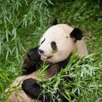 When pandas squeak and make other noises, what are they saying?