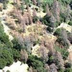 Drought kills 12 million trees in California's national forests