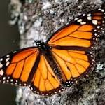 Monarch numbers improve after 3 years of drops