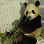 Long-awaited giant panda visit begins in Toronto