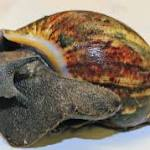 Giant snails confiscated in California; Texas still safe