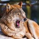 Wolves also Share Contagious Yawning habit of Humans