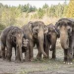 Oregon Zoo elephants exploring part of new habitat