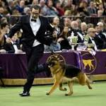 Rumor has it: German Shepherd crowned at Westminster