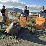 Elephant Seal That Tried to Cross Highway 37 Doesn't Want to Go