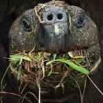 Endangered Tortoises Feasting on Invasive Plants