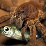 Fish-eating spiders more common than previously thought
