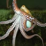 Why Don't Octopuses Tie Themselves in Knots?