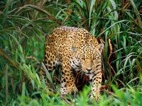 Max Jaguar