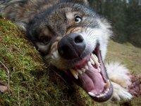 Wolf Wolfovich