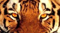 Vitaliy Tiger