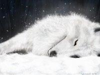 Kavkaz Wolf